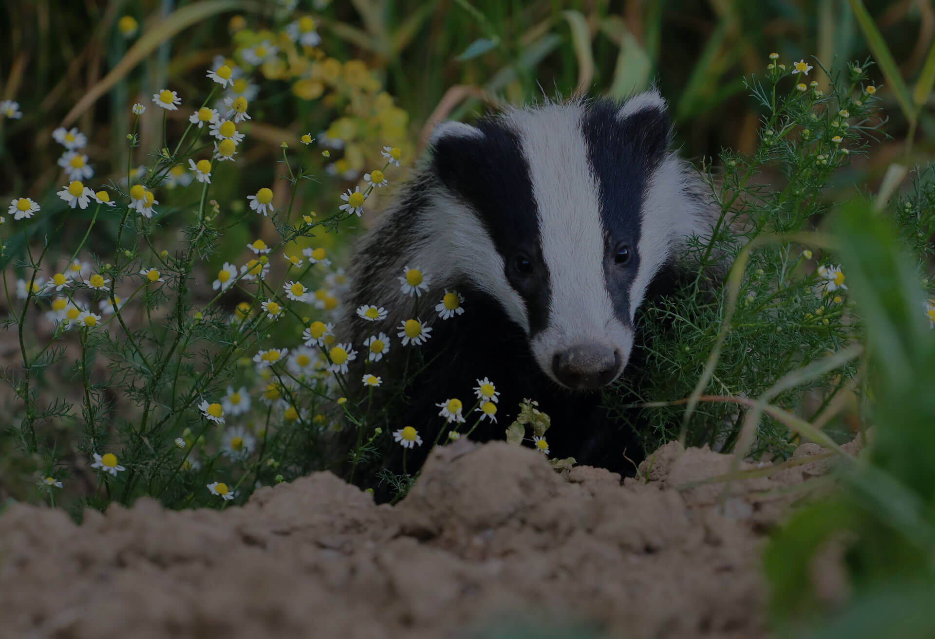 Badger with flowers around him