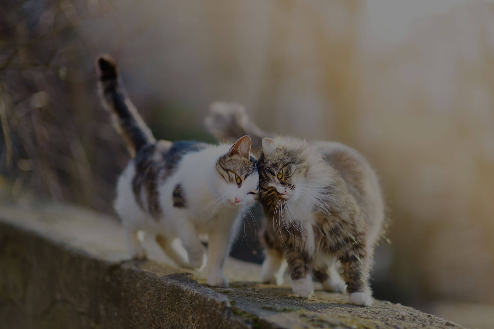 Two cats lovingly rubbing their heads against each other while walking on a wall