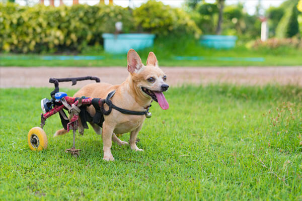 Dog on a wheelchair with rear leg injured